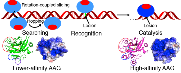 The mechanism of DNA searching and lesion recognition by AAG