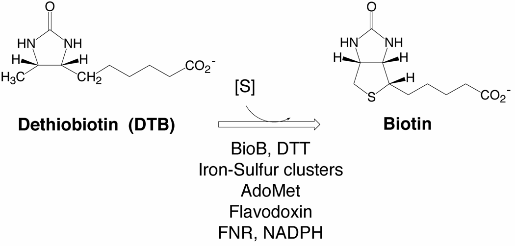 The Challenging reaction catalyzed by biotin synthase (BioB)
