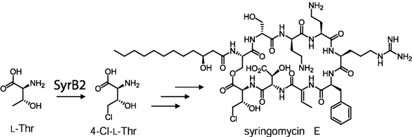 The halogenation reaction catalyzed by SyrB2